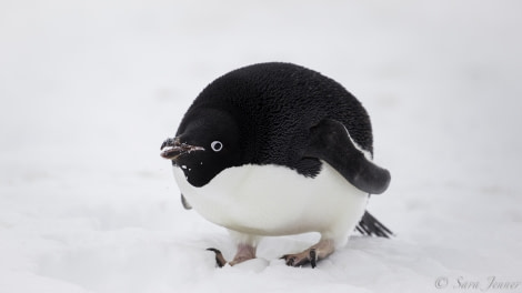 Adelie penguin 5 6x4 © Sara Jenner - Oceanwide Expeditions.jpg