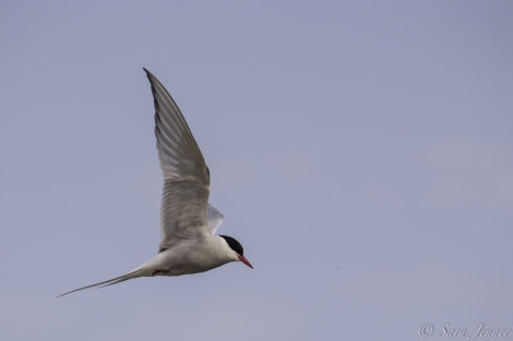 Arctic Tern 4 6x4 © Sara Jenner - Oceanwide Expeditions.jpg