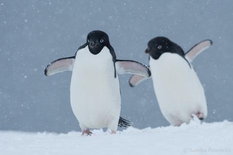 Adelie penguins, Kinnes Cove © Sandra Petrowitz - Oceanwide Expeditions.jpg