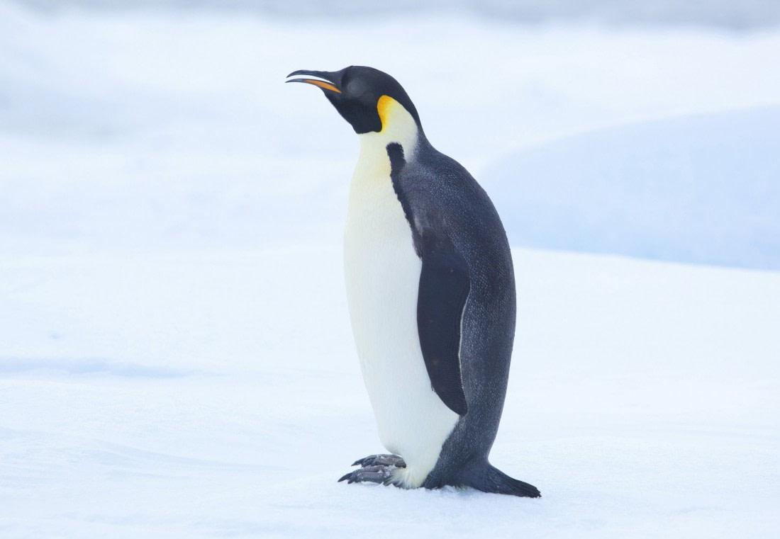 Adult Emperor penguin in the snow