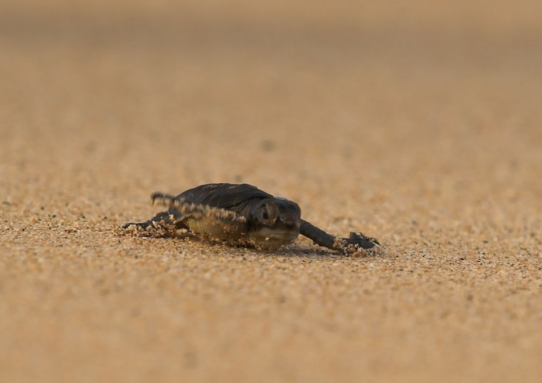 An adorable baby green turtle