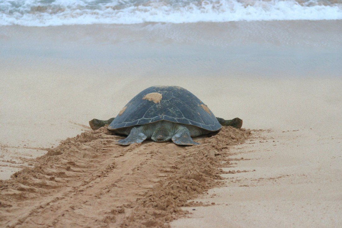 A giant green turtle going into the ocean