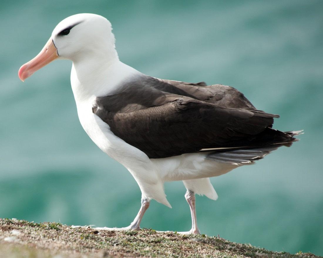 A beautiful black-browed albatross
