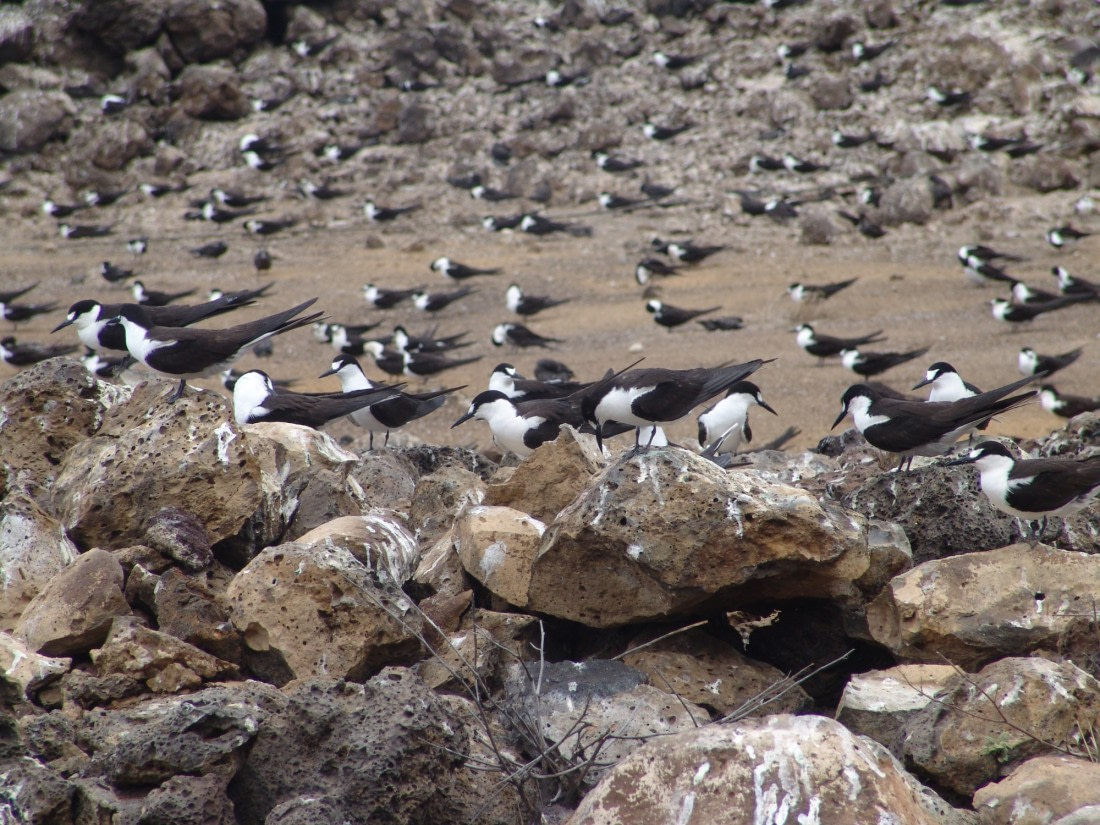 Sooty tern colony on Ascension Island