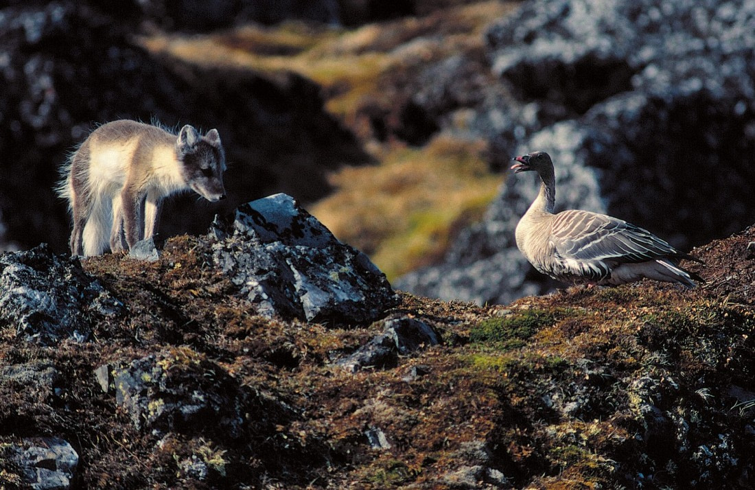 Arctic fox close to a pink-footed goose
