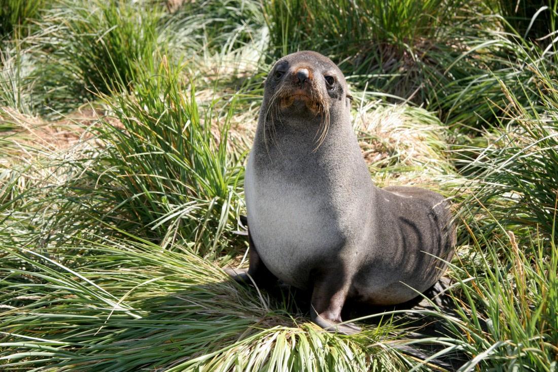 Fur seal at the Falkland Islands