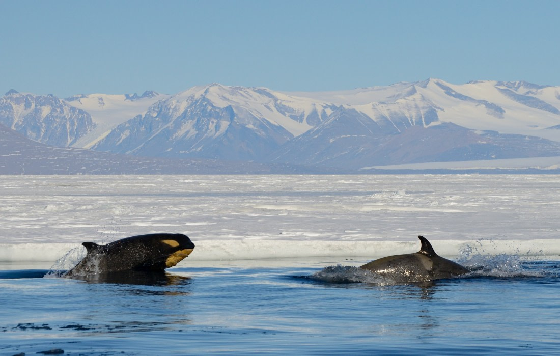 Two orcas swimming in the Ross Sea