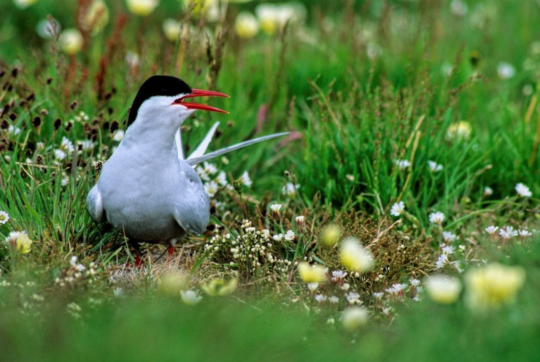 Arctic tern in the grass