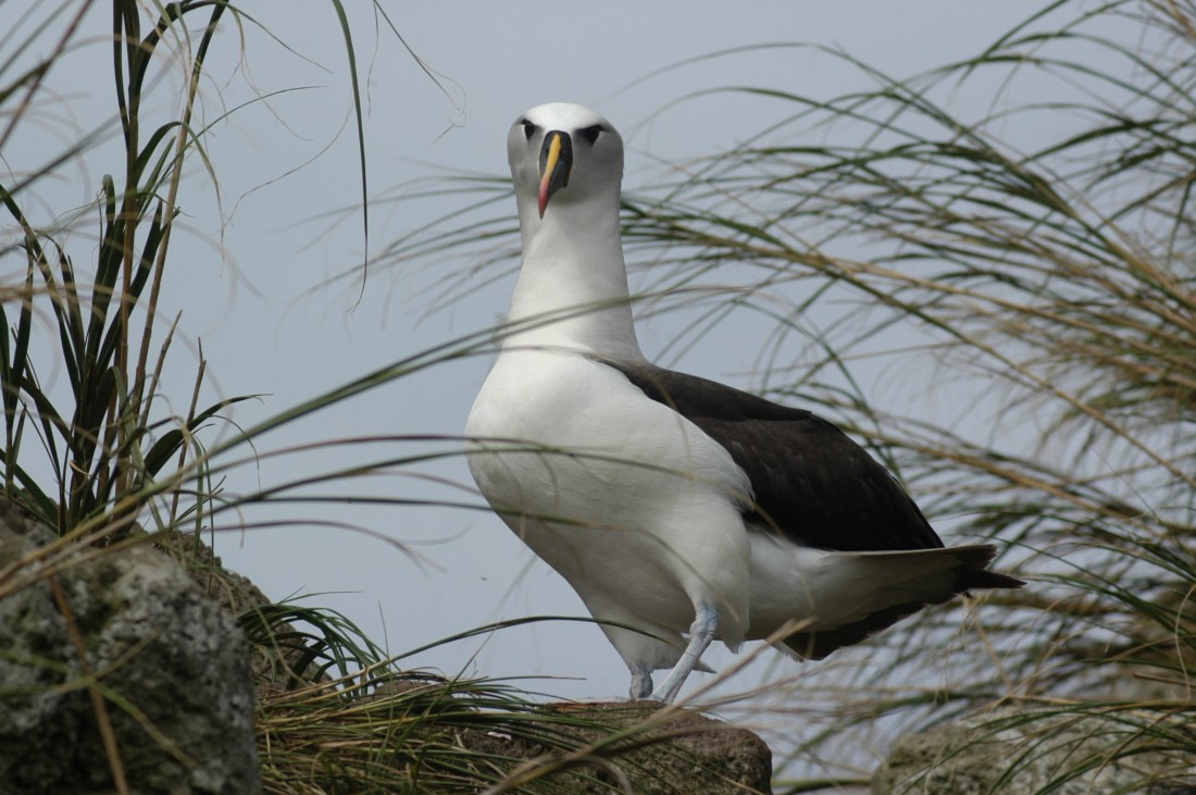 A Yellow-nosed albatross from the front