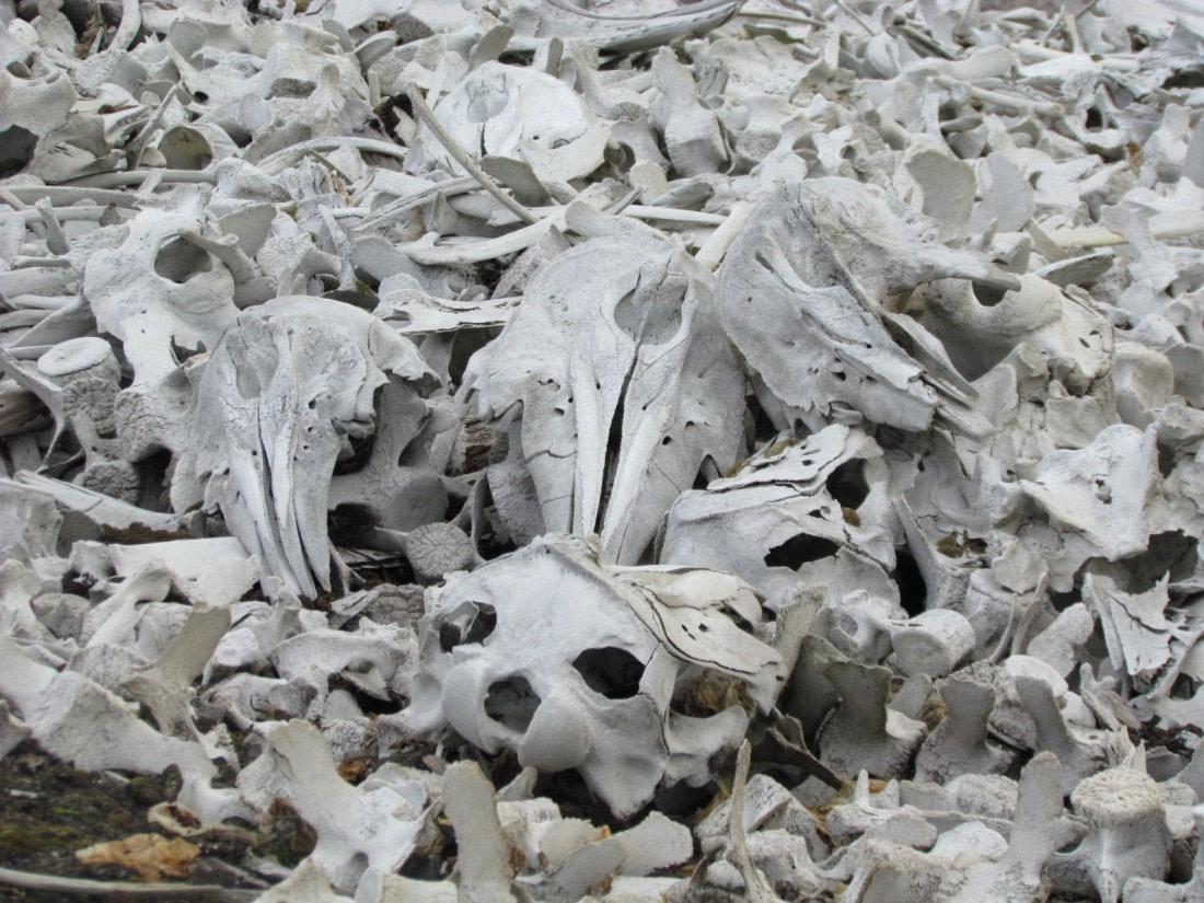 Beluga whale skeletons