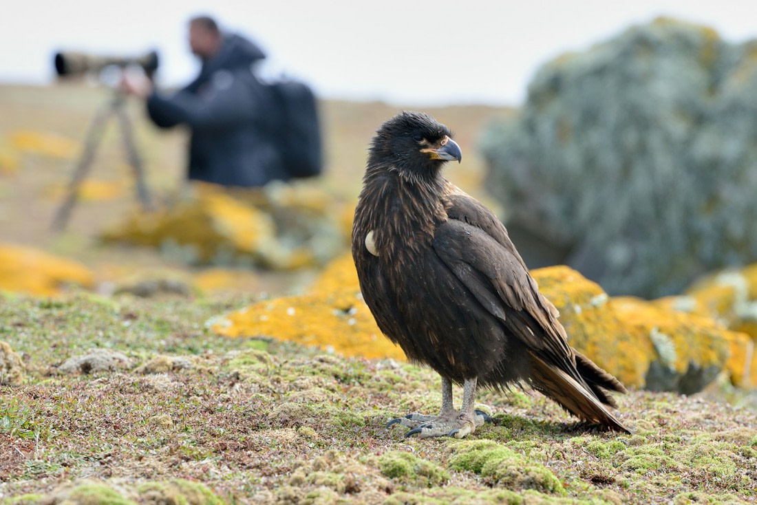 Striated caracara at Saunders Island