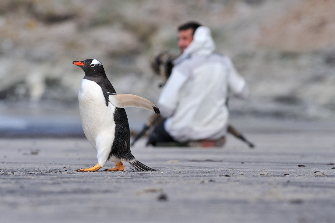 Gentoo penguin on the beach of Saunders Island