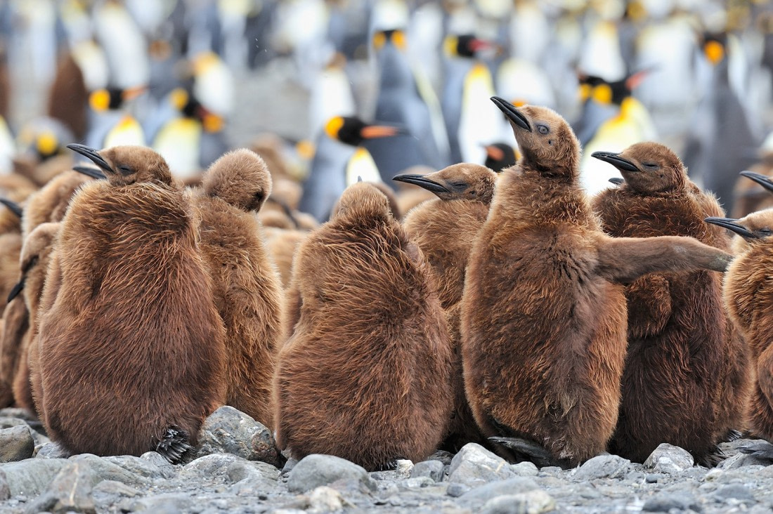 King penguin chicks at Fortuna Bay in South Georgia
