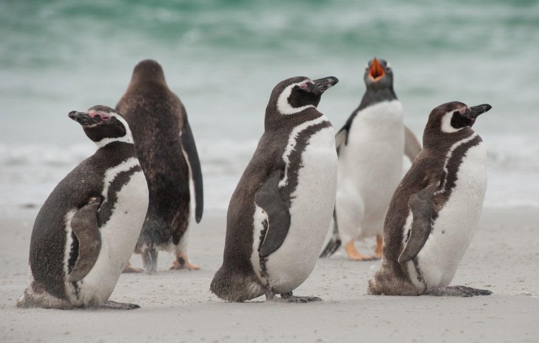 Magellanic penguins at the Falkland Islands
