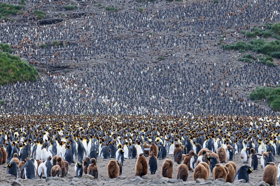 The very large King penguin colony at Salisbury Plain