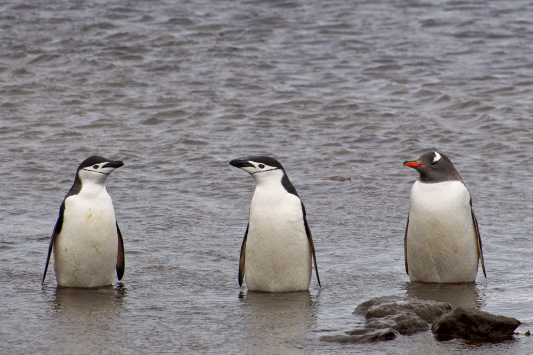 Two chinstrap penguins and a gentoo penguin on Deception Island