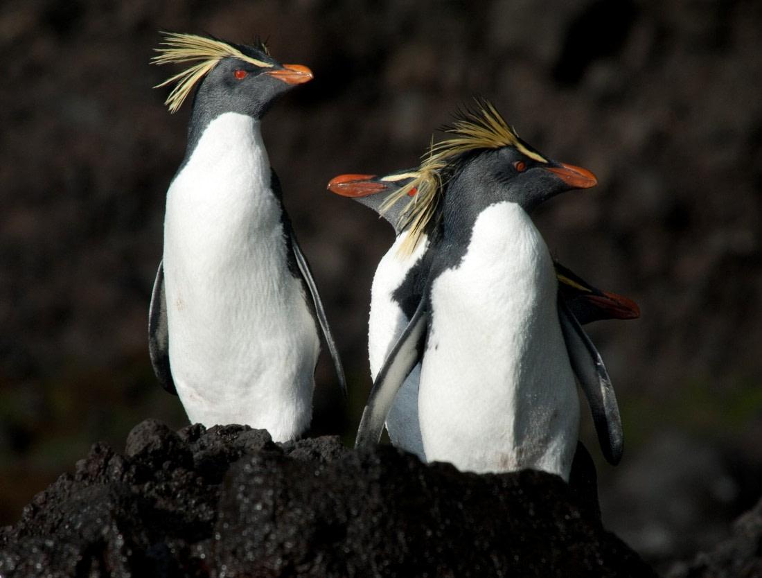 Northern rockhopper penguins on Tristan da Cunha