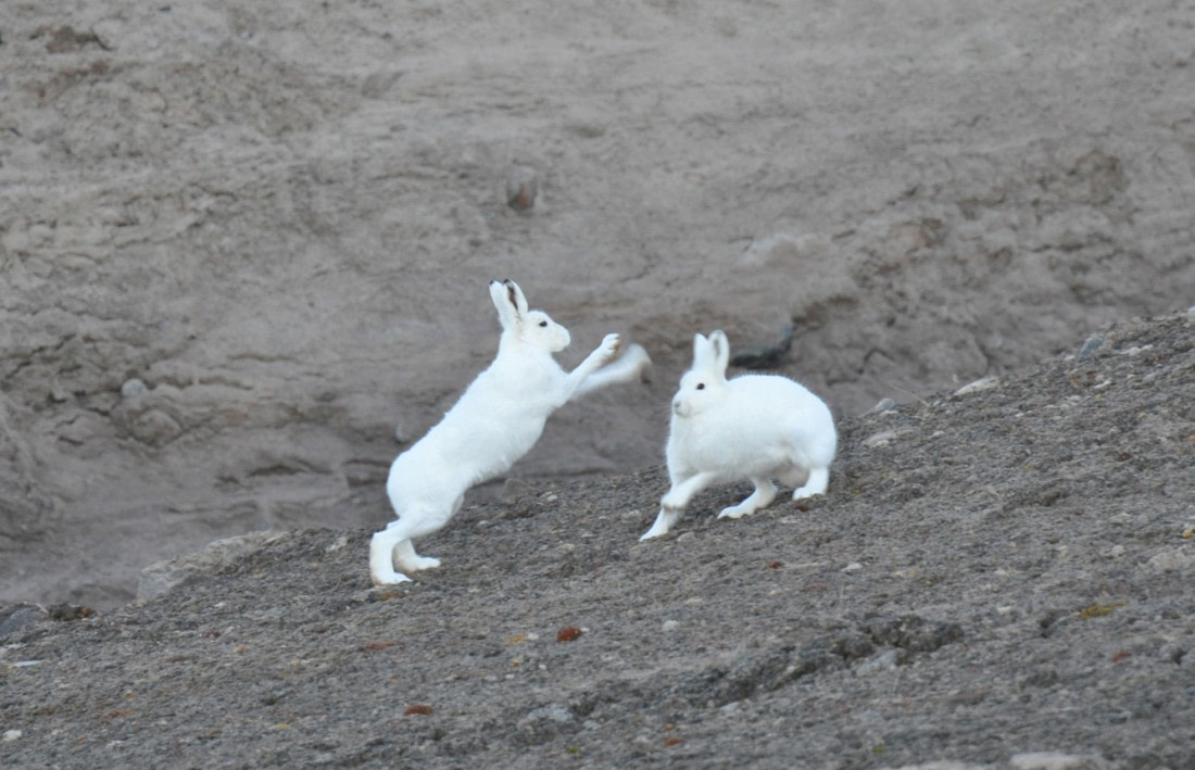 Two Arctic hares in Northeast Greenland