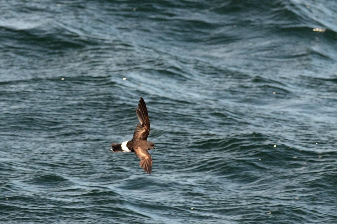 Wilson's storm petrel at sea