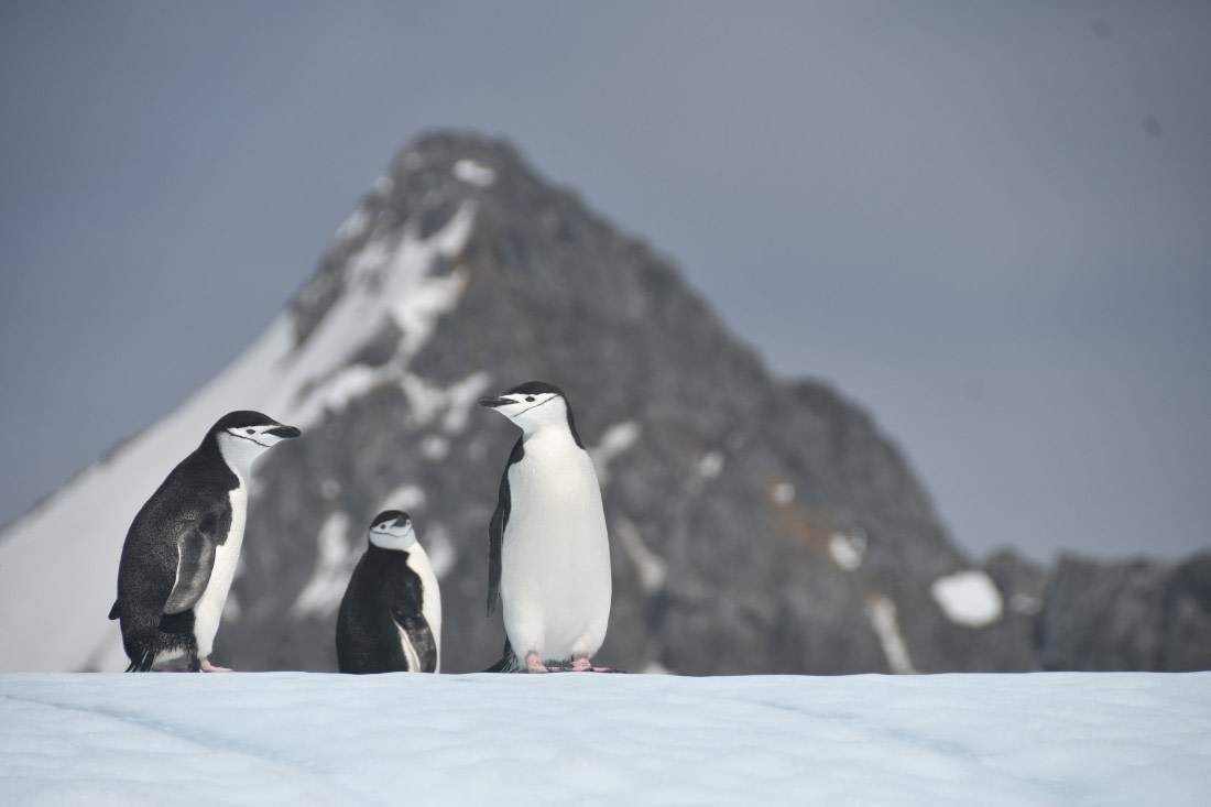 Chinstrap penguins at the South Orkney Islands