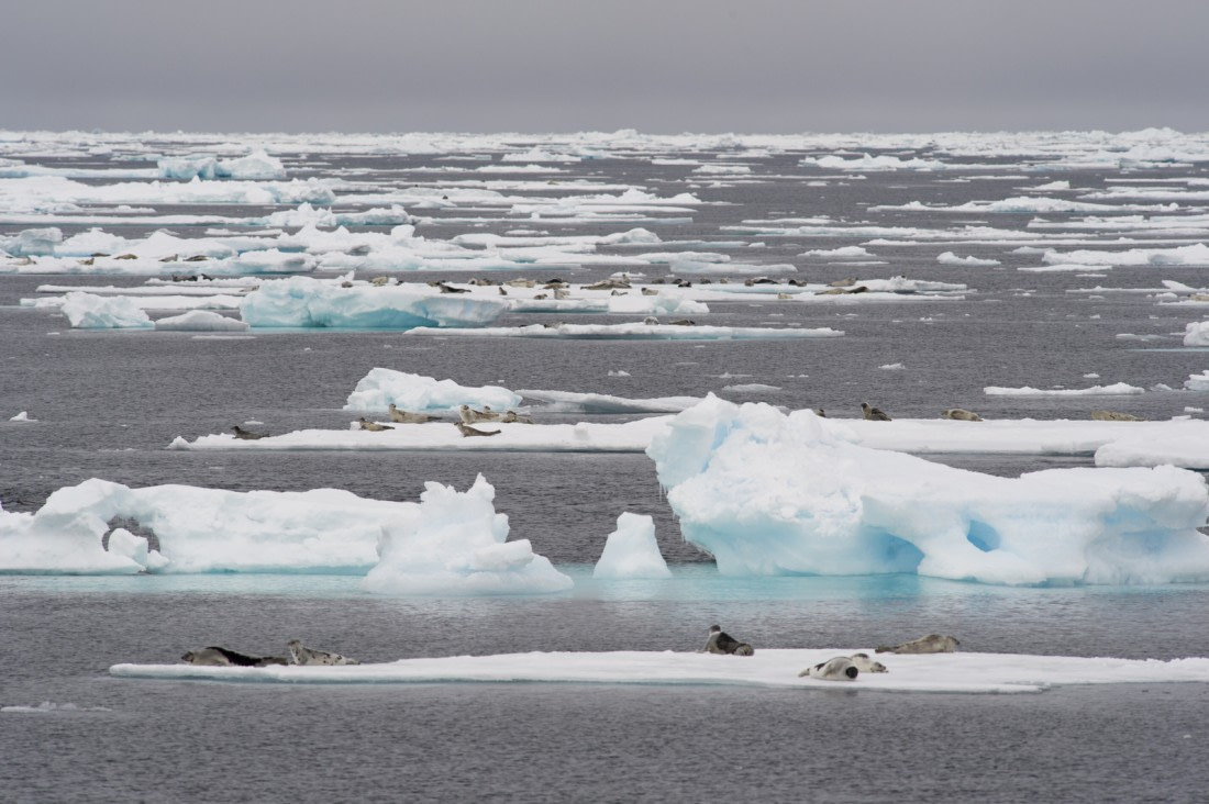 Moulting harp seals on ice floes