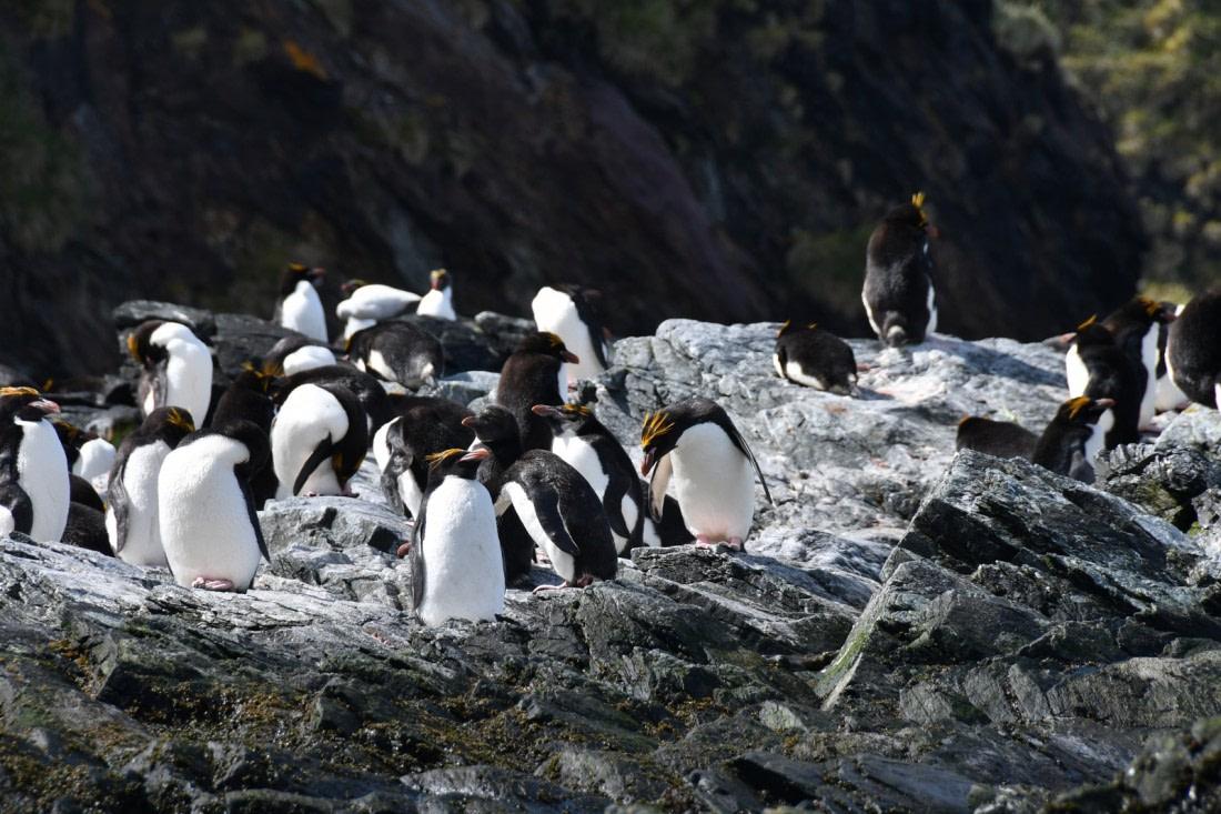 A group of macaroni penguins