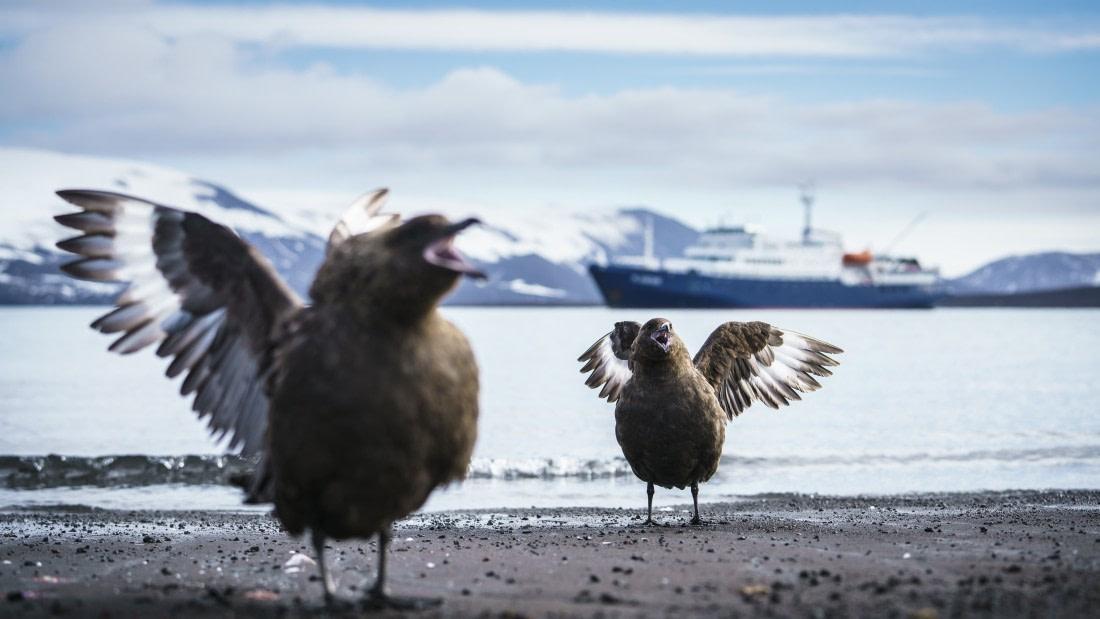 South polar skuas on Deception Island