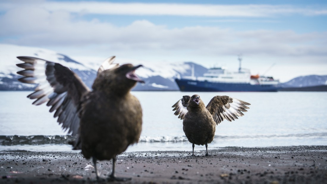 South polar skuas on Deception Island with Plancius in the background