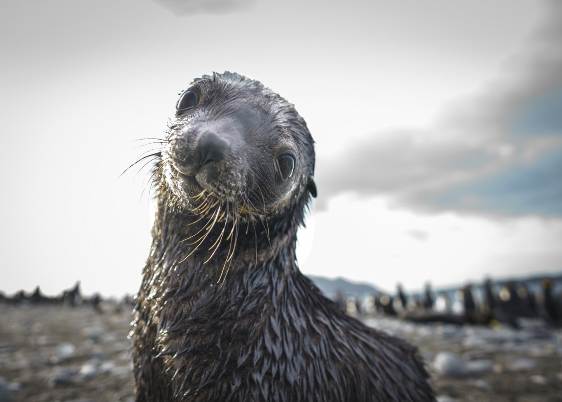 A really cute fur seal pup in South Georgia