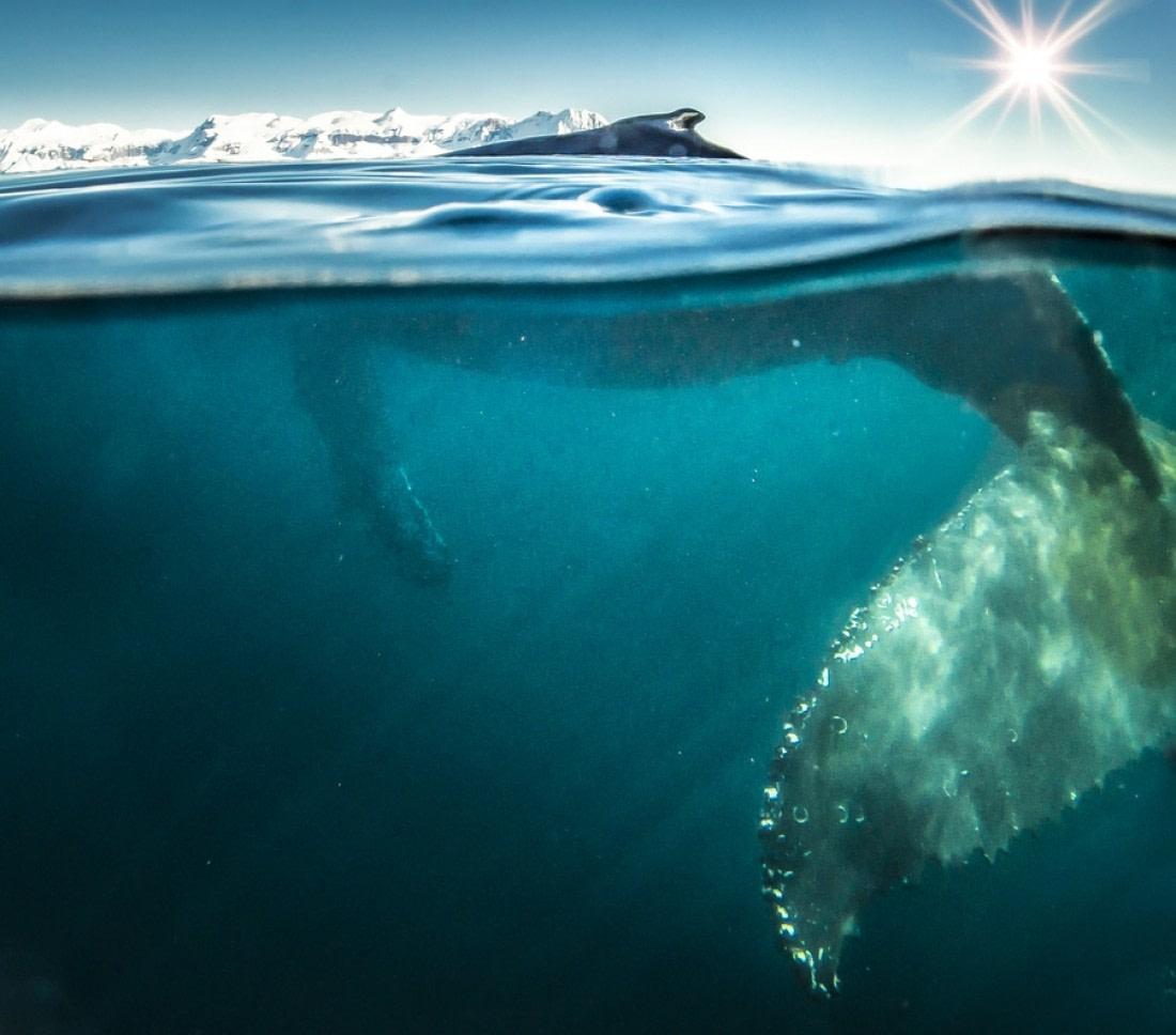A humpback whale in South Georgia