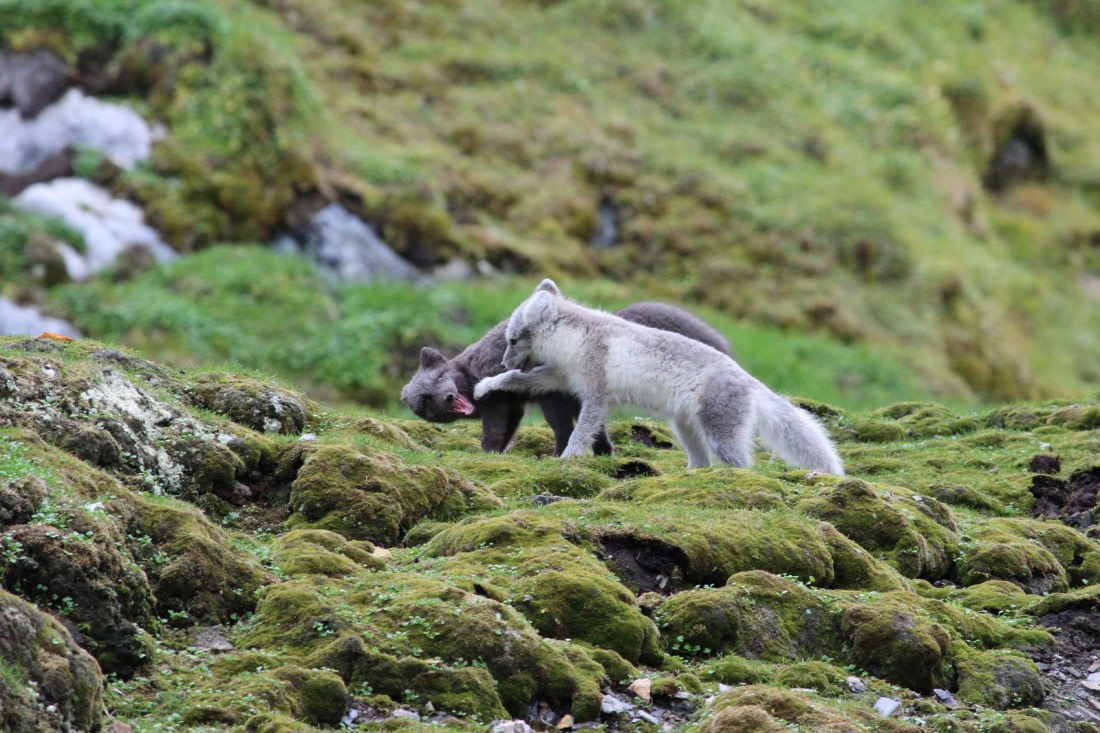 Two young Arctic foxes playing on the grass