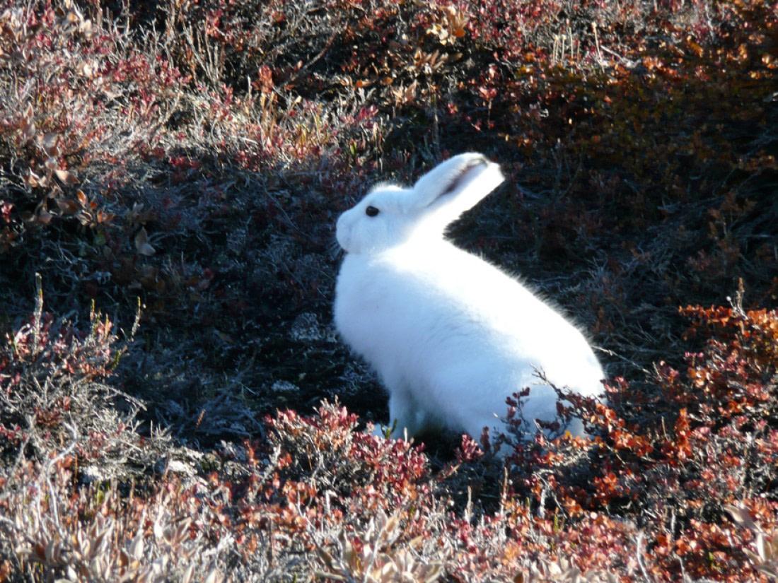 Arctic hare in Northeast Greenland
