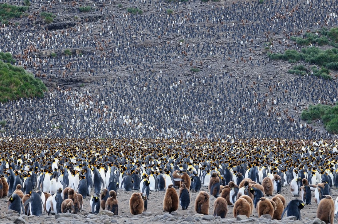 Huge colony of adult King penguins and chicks