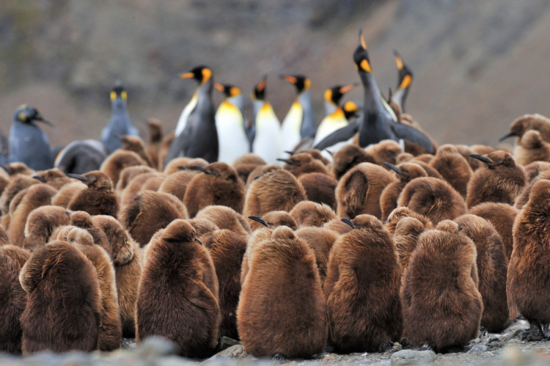 Lots of King penguin chicks with adult Kings in the background