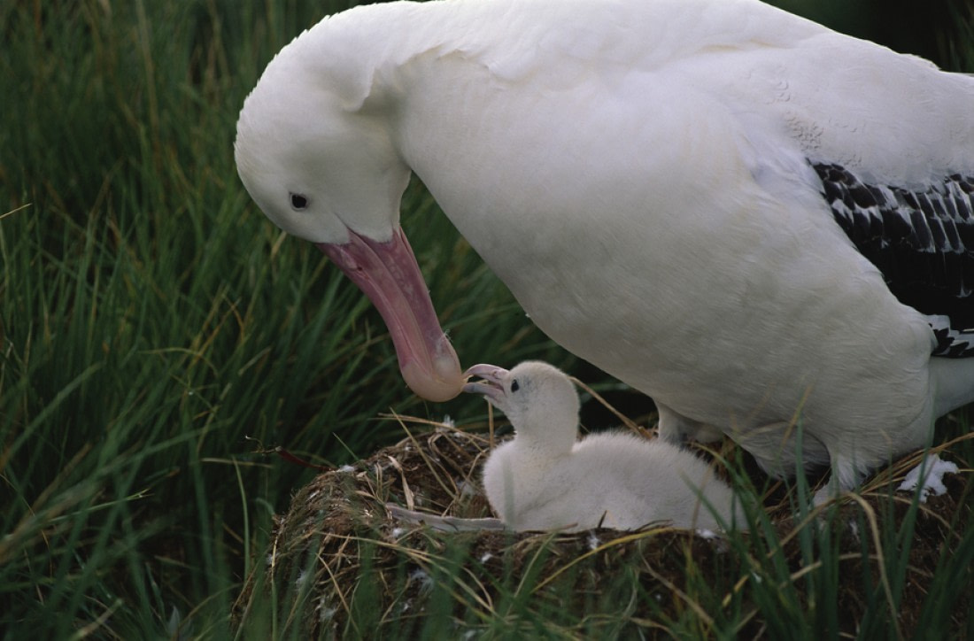 A wandering albatross with its chick