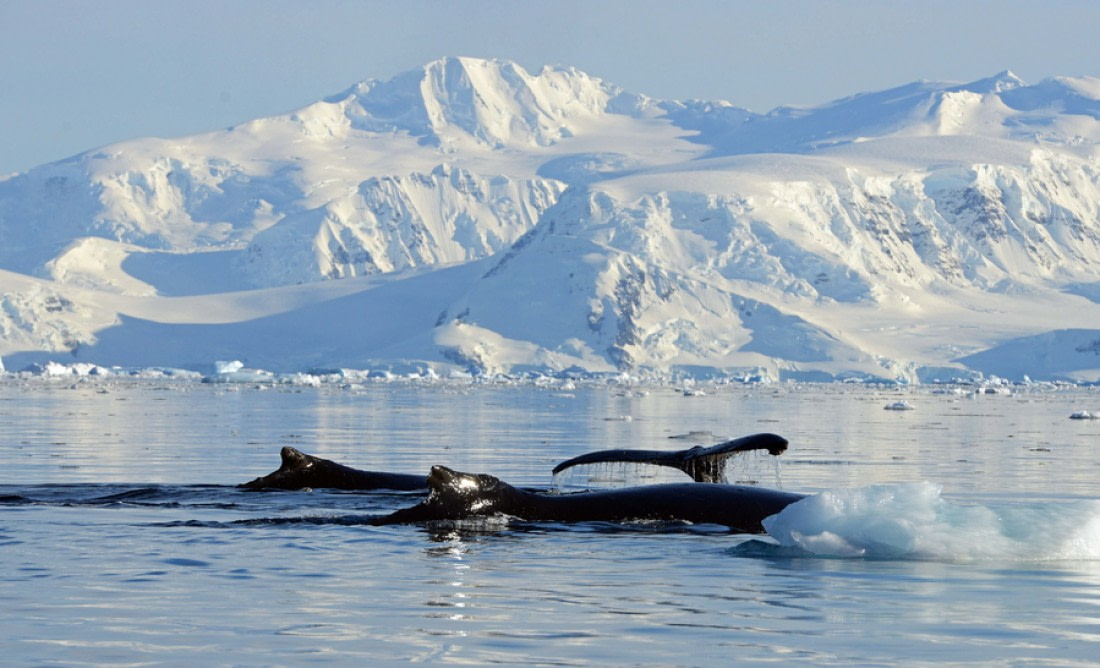 Whale watching in Wilhelmina Bay