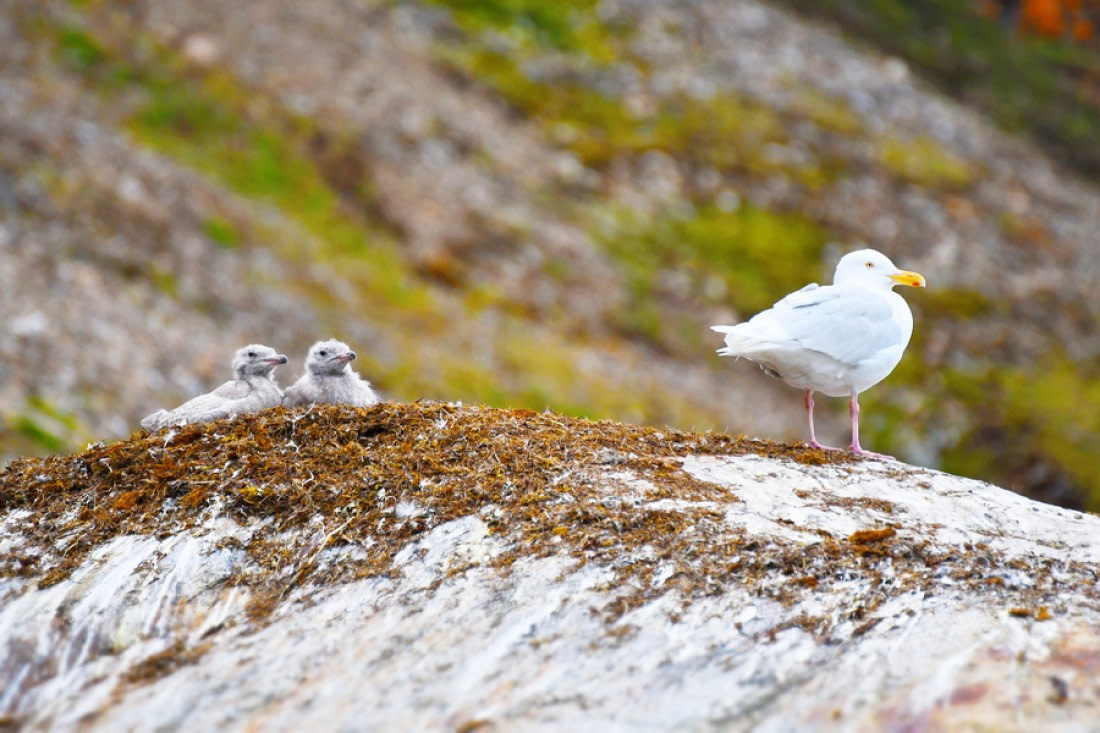 Birds Of The North 22 Arctic Birds And Seabirds