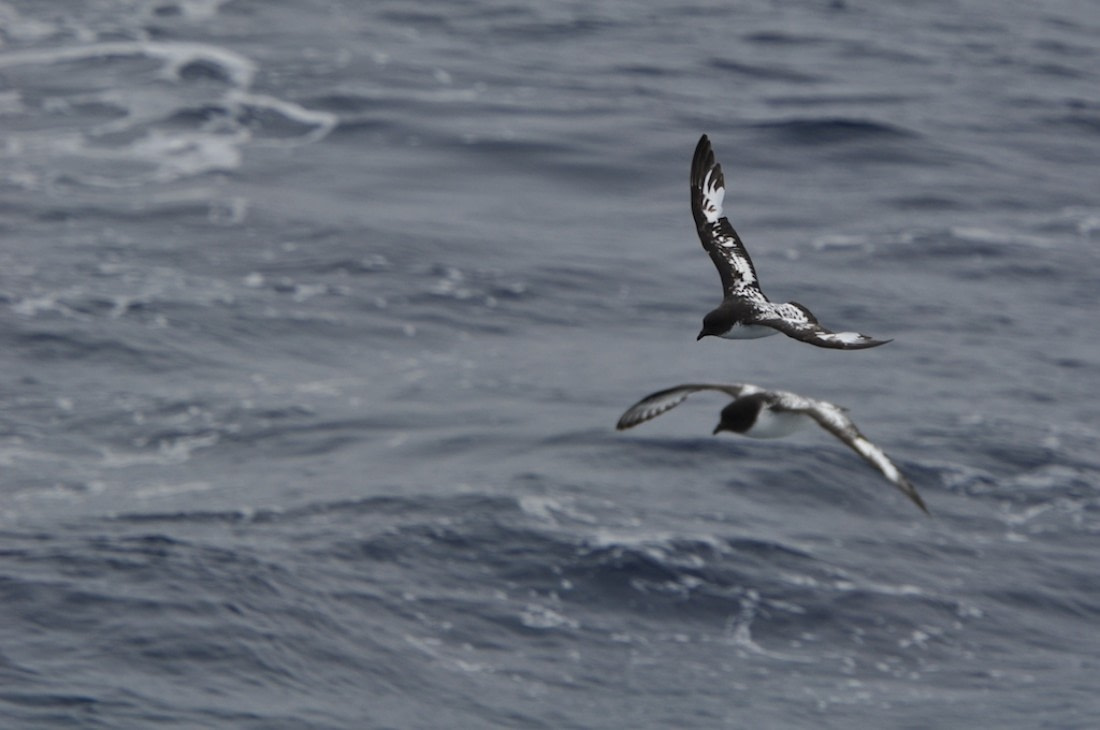 Two cape petrels flying above the water