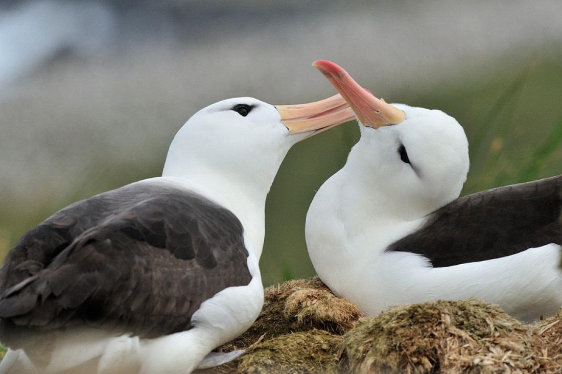 Two black-browed albatrosses on Steeple Jason Island, Falkland Islands