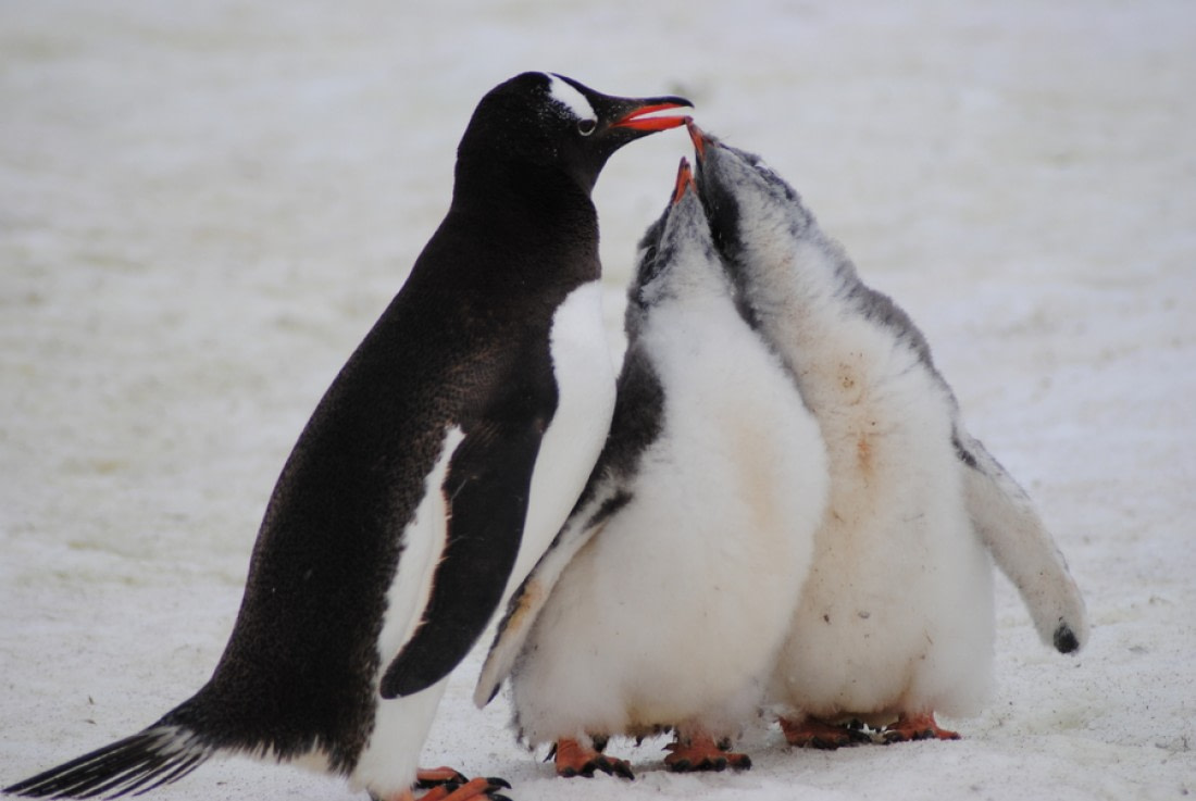 A gentoo penguin with two chicks on Petermann Island