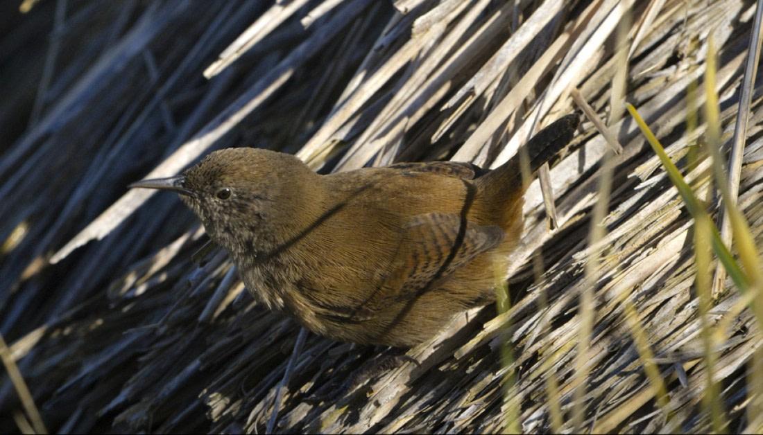 A cobb's wren on the Falkland Islands