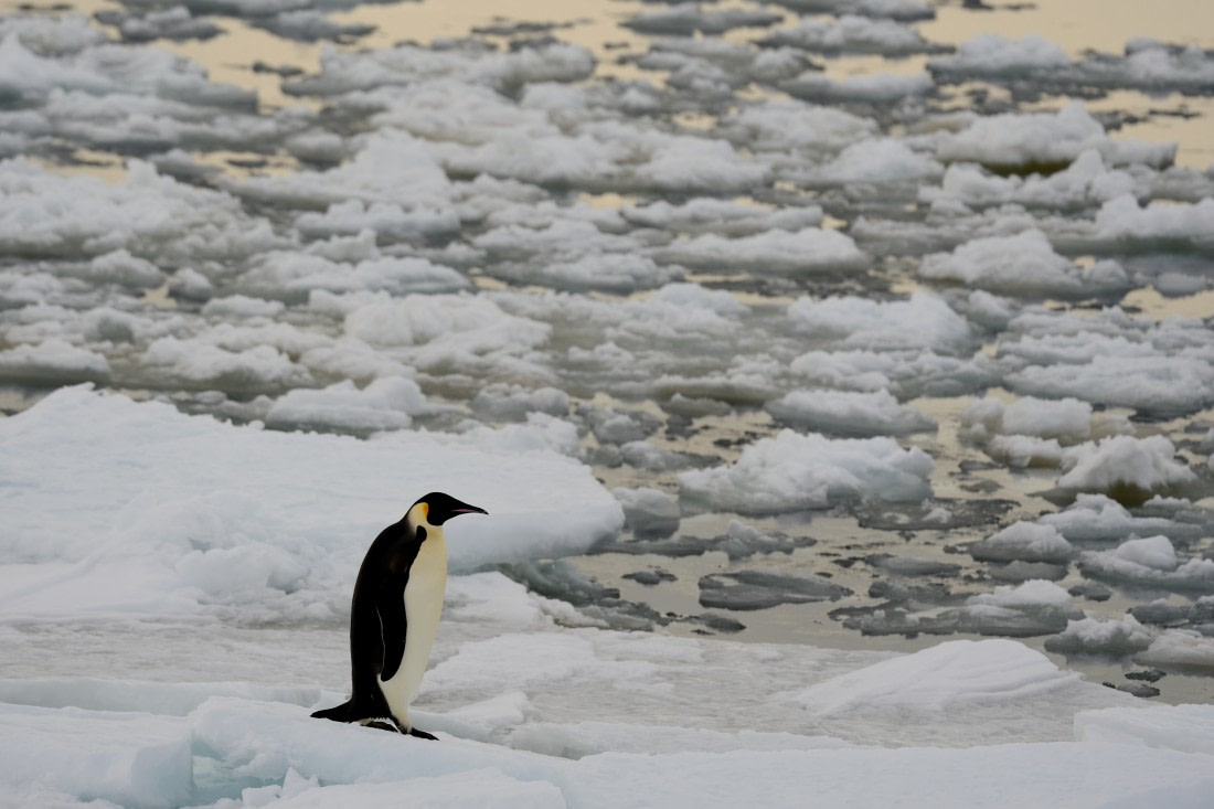 Emperor penguin on the ice