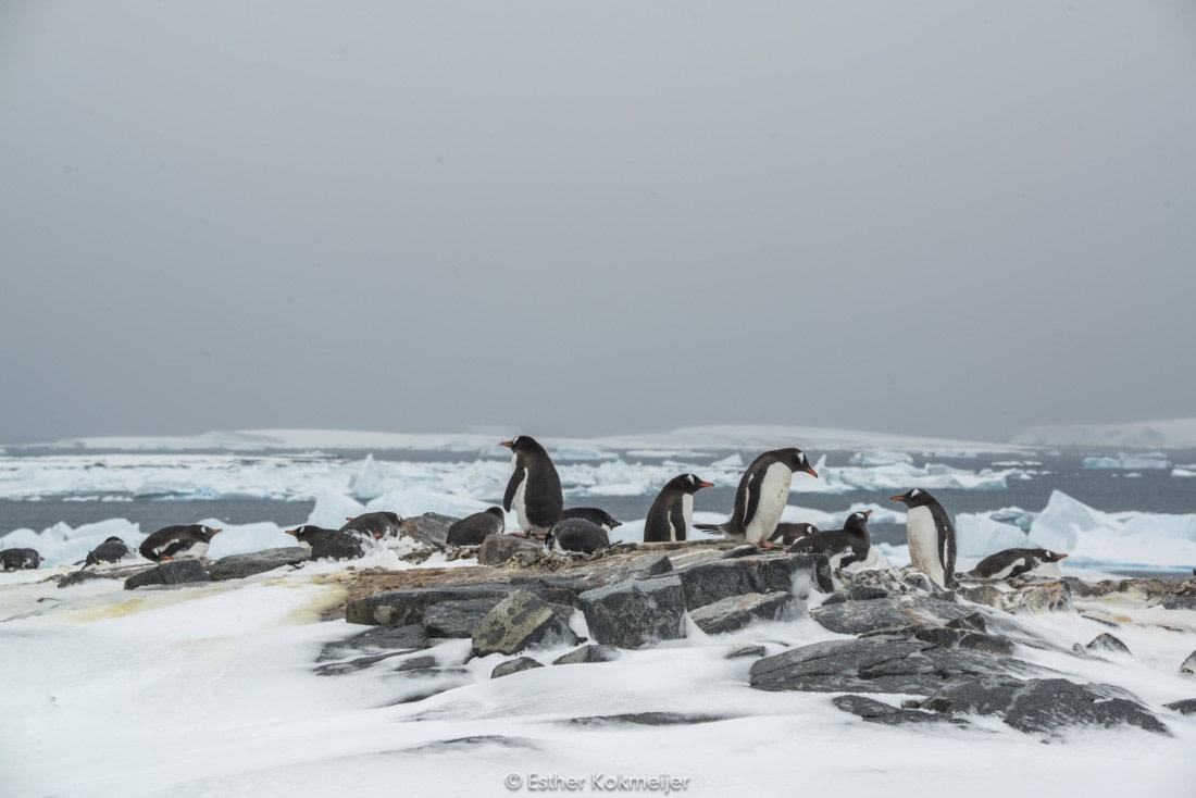 Gentoo penguins at Pléneau Island