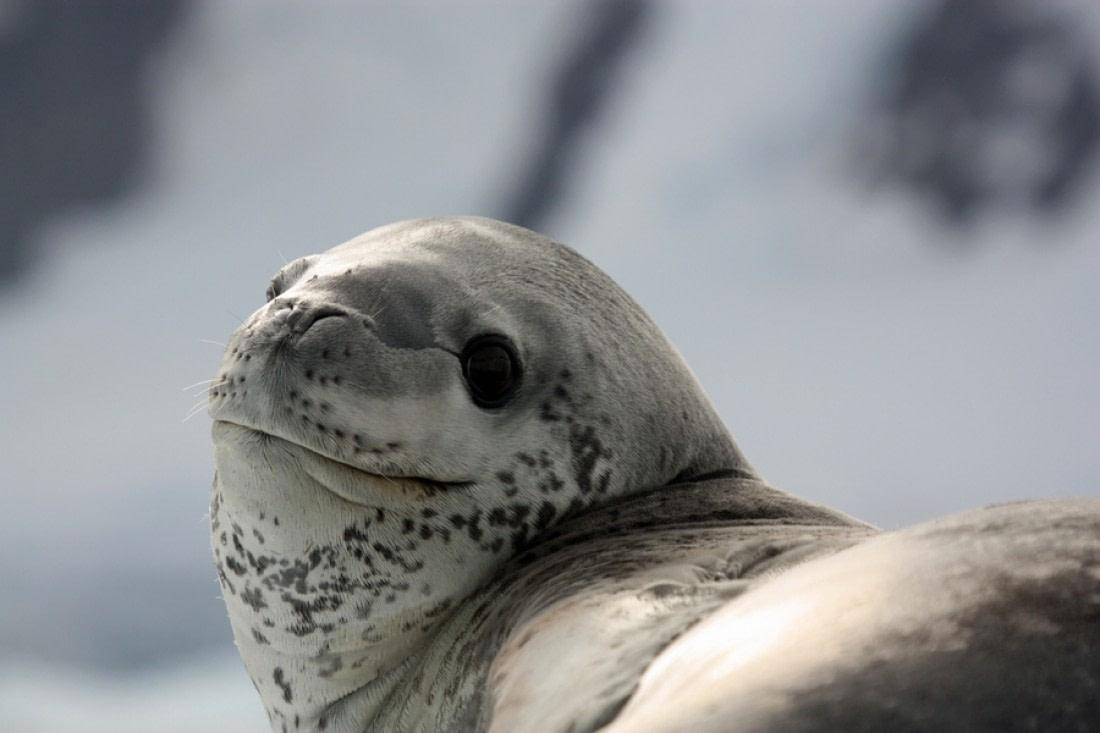 Leopard seal in Paradise Bay in Antarctica