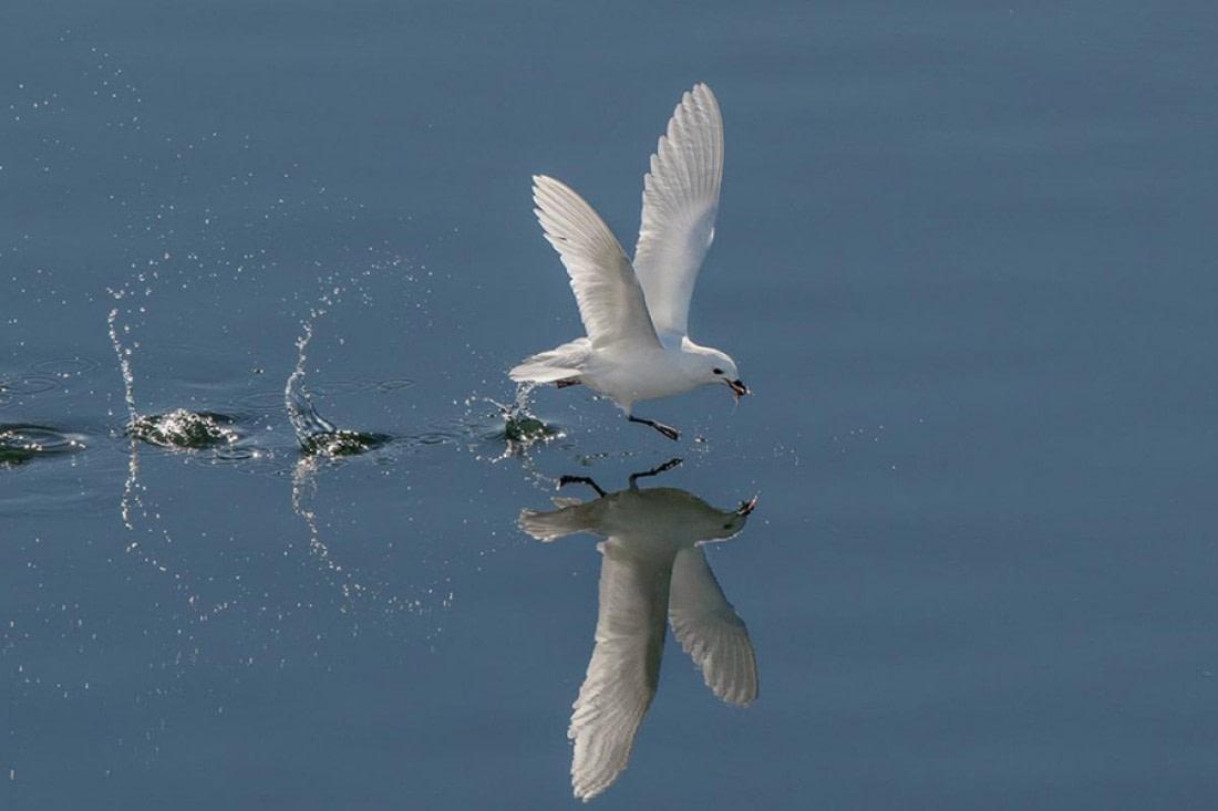 Snow petrel walking on water