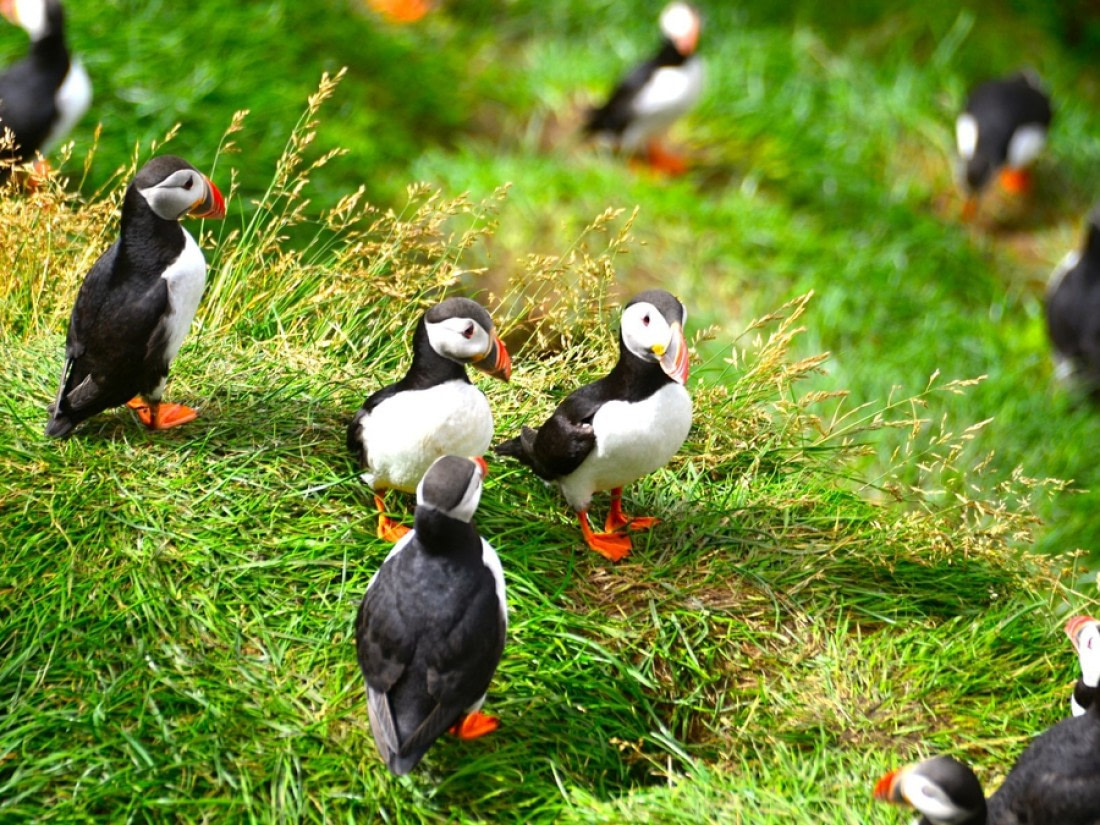 Puffins on the grass