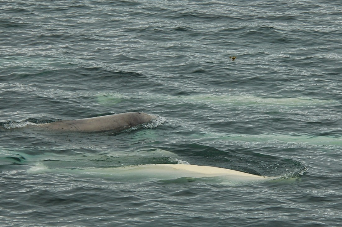 Swimming Beluga whales