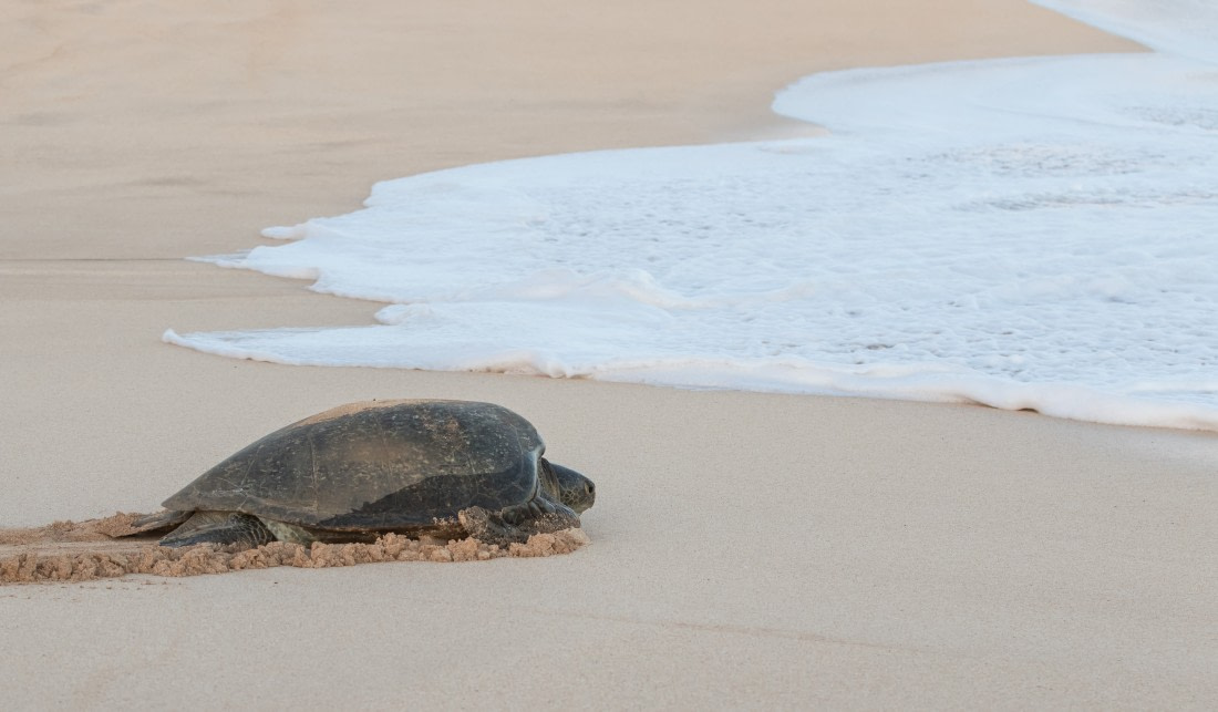 Green turtle on Ascension Island