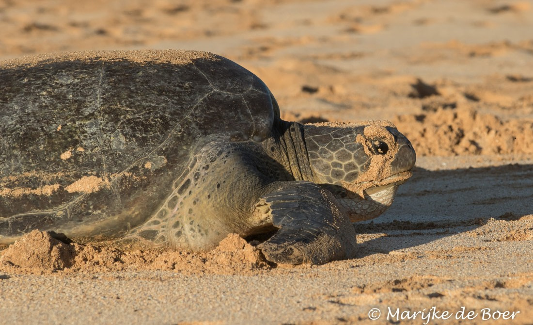 Close-up of a green turtle on Ascension Island