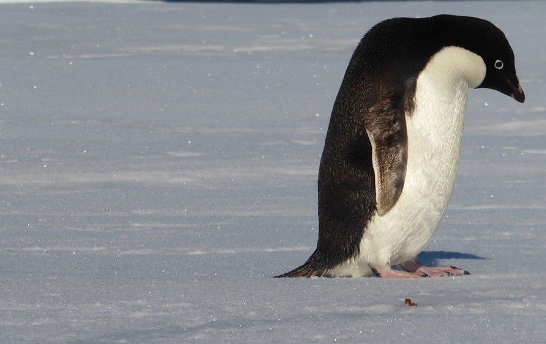 Adelie penguin on the snow in Antarctica